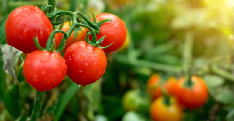 Cenário do tomate no Brasil tendências e dificuldades de cultivo.png