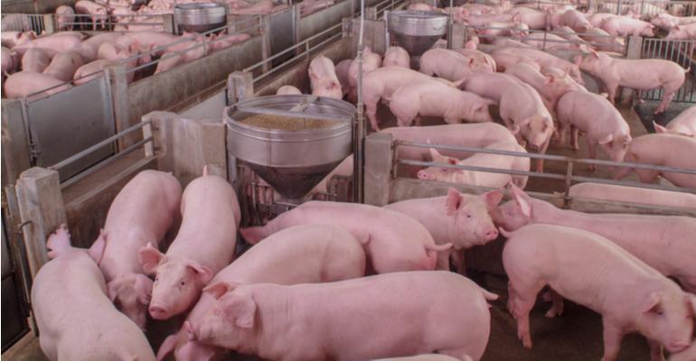Inovações e desafios na criação de suínos.jpg