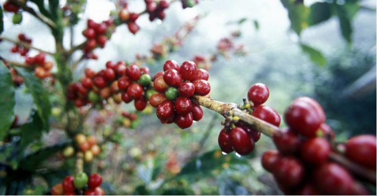 Pragas e doenças do café quais as piores e como controlar.png