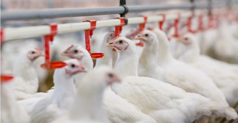 Vacinação é controle efetivo contra E.coli em granjas.jpg