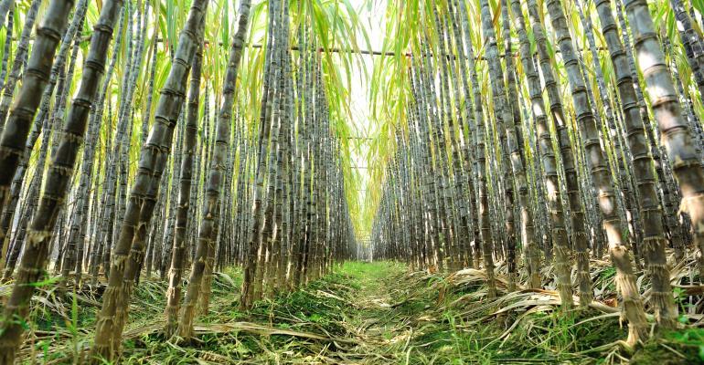 Cultivo simulado de cana: quais os principais usos