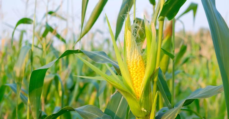 Adubação nitrogenada melhora sua produção de milho. Saiba como!