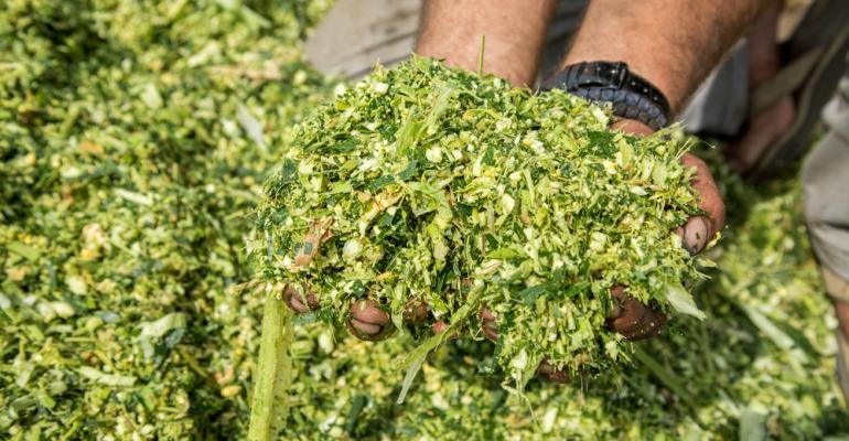 Vale a pena investir em silagem de milho?