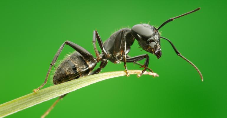 Como plantar - combatendo formigas - em solo pobre e arenoso