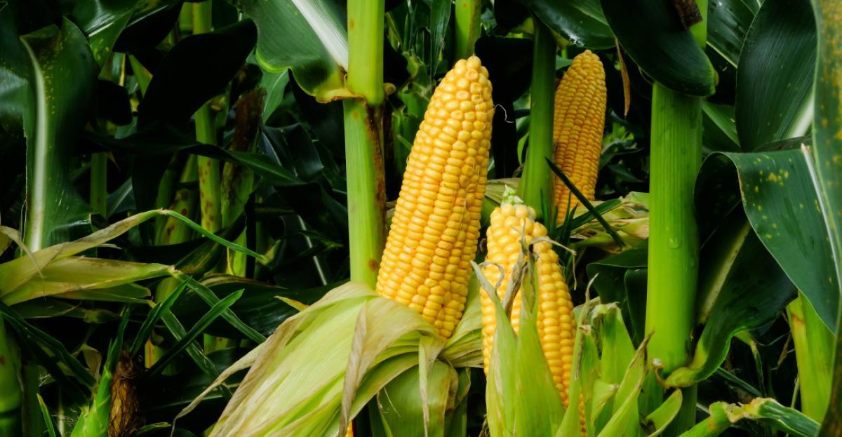 Soluções tecnológicas no cultivo do milho