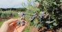 Batizado de mirtilo no Brasil, o blueberry ganhou fama de fruta da longevidade.png