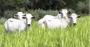 Cultivo de brachiaria na pecuária - Guia definitivo.png