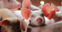 Desinfecção a seco das instalações reduz a pressão de infecção nas granjas.png
