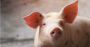 Do you follow these steps to a good finishing of pigs.png