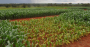 Expert tip how to correct the soil for growing corn.png