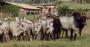 Kangayam raça originária da ìndia é comparada com antílopes.png