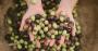 Pequeno fruto das oliveiras, a azeitona chegou ao Brasil pelas mãos de imigrantes.png