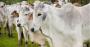 Previsões da pecuária de corte em 2021 no Brasil!.png