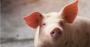 Você segue esses passos para uma boa terminação de suínos.png