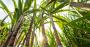 """É possível controlar ervas-daninhas """"difíceis"""" no cultivo de cana.png"""