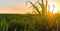 Como prever resultados da cana por meio do cultivo simulado?
