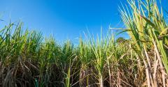 Inovações no cultivo de cana-de-açúcar aumentam produção. Veja detalhes!