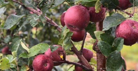 Agricultura familiar receita da nossa autossufiencia na produção de maçãs.png