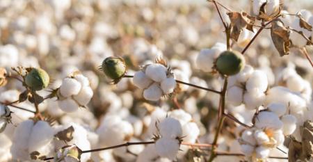 Com safras uma vez ao ano, algodoeiro é cultura mundialmente importante.png