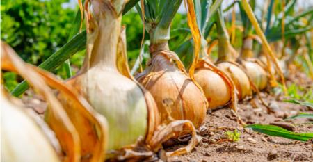 Os três nutrientes que vão melhorar o manejo na cultura da cebola.png