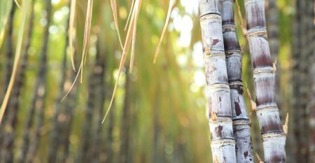 Dois processos básicos para realizar o cultivo simulado de cana de açúcar