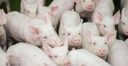 Todo criador de suínos pode aderir ao sistema de compartimentação; saiba as regras