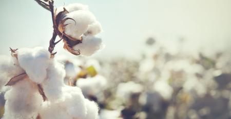 Como superar os desafios da produção de algodão no Brasil?