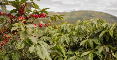 Entenda as vantagens da adubação nitrogenada do cafeeiro