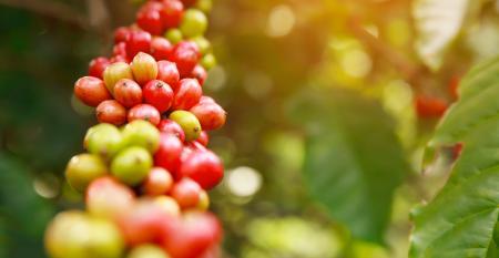 Principais fontes nitrogenadas para a adubação do cafeeiro