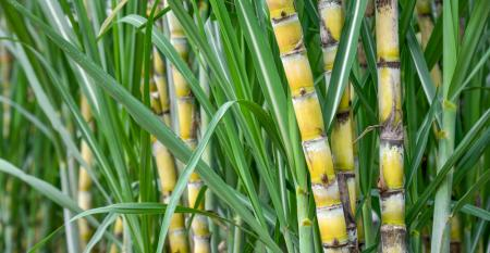 Como inovar para um cultivo de cana mais eficiente